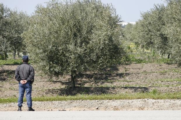 Dois homens detidos por furto de 268 quilos de azeitona em Elvas