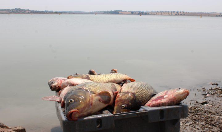 Alentejo: Remoção de peixes das albufeiras arranca na segunda-feira