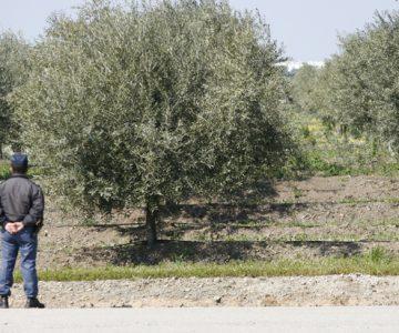 Nove detidos por furto de 200 quilos de azeitona em Sousel