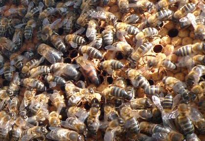 Évora: Furtaram abelhas em exploração agropecuária