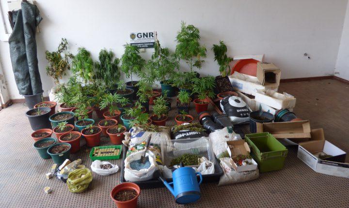 Ourique: Mais de 40 plantas de canábis apreendidas