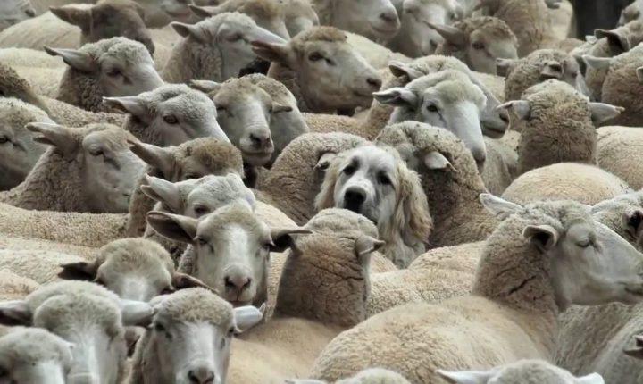"""""""Língua azul"""" detetada em cinco mil ovinos no Alentejo"""