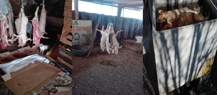 Elvas: ASAE desmantela unidades de abate clandestino
