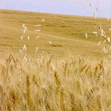 Agricultura: Cereais com a menor área dos últimos 100 anos