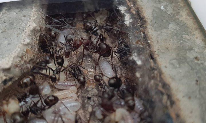 """Évora: Projeto """"lança"""" formigas como animal de estimação"""
