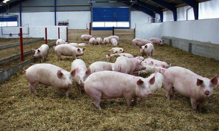 Exportação de carne de porco para China arranca em Reguengos de Monsaraz