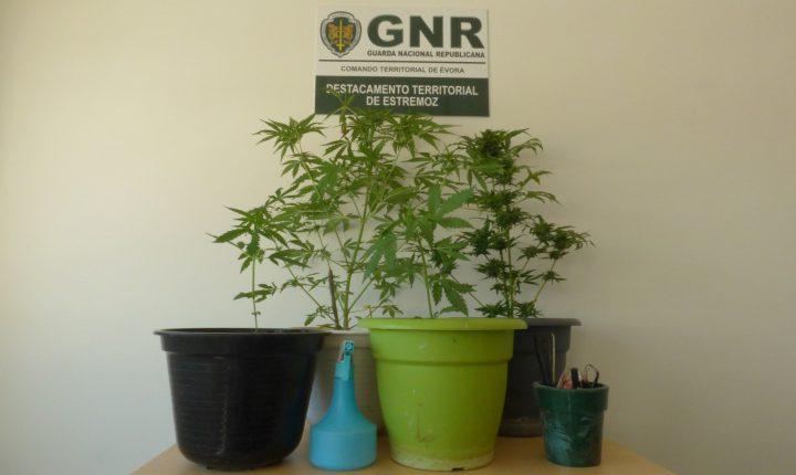 Dois detidos por cultivo de cannabis em Estremoz