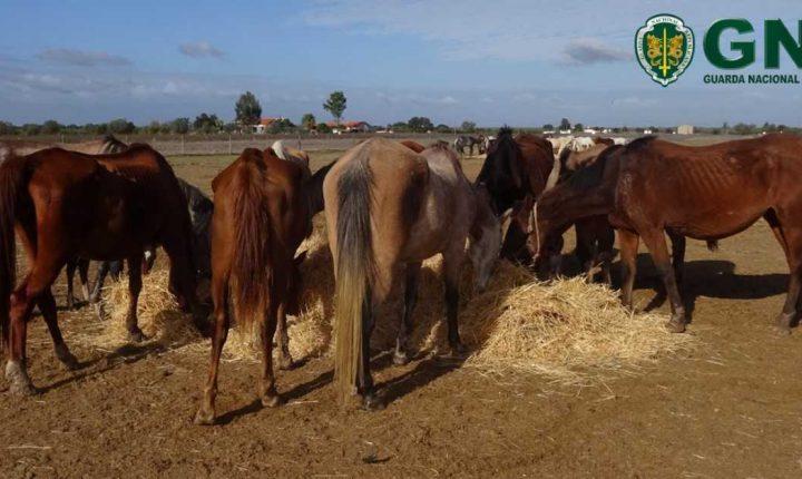 GNR apreende mais de 100 cavalos em Aljustrel e Ferreira do Alentejo