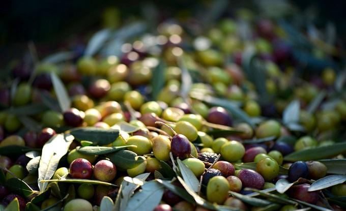 Universidade de Évora aponta medidas para gestão sustentável de olivais