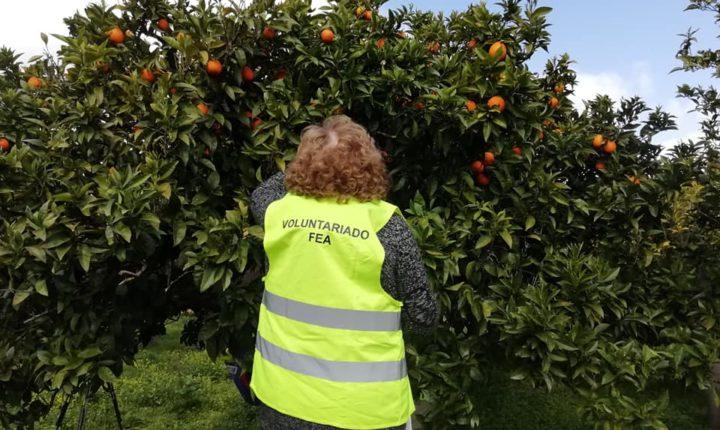 Colheita solidária de laranjas em Évora envolve 150 voluntários