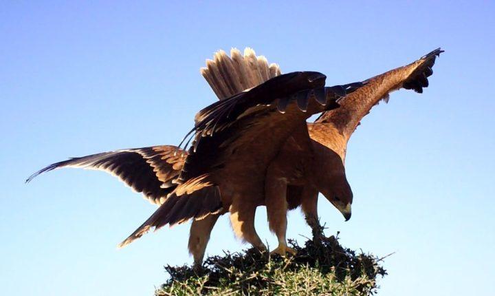 Alentejo com aumento de 33% de casais reprodutores de águia-imperial-ibérica