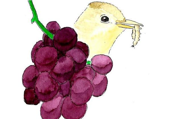 Vinhas influenciam o potencial das aves como aliadas no controlo de pragas
