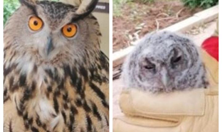 Resgate de coruja-do-mato e bufo-real no concelho e Vila-Viçosa