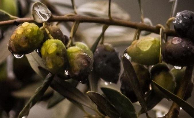 Universidade de Évora quer tornar olival mais resistente