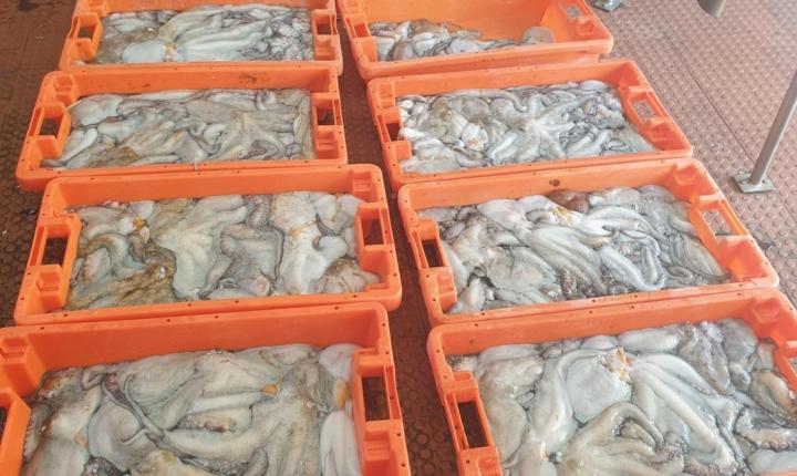 Apreensão de 130 quilos de polvo por fuga à lota em Odemira