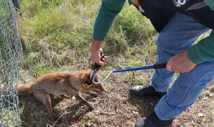 PSP de Évora salva raposa de uma armadilha