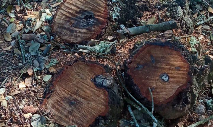 GNR deteta corte e poda ilegal de azinheiras e sobreiros em Vimieiro