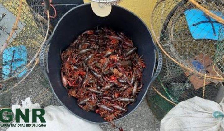 100 quilos de lagostim-vermelho-do-luisiana apreendidos em Elvas